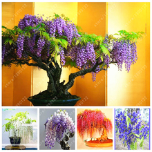 Wisteria Plant Seeds 10pcs different colours