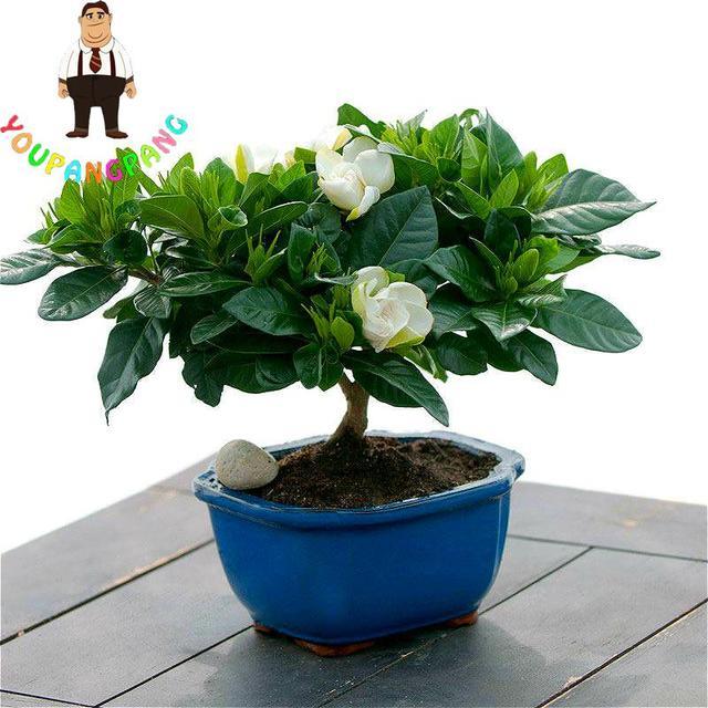 100 Pcs/lot Gardenia Seeds Bonsai Tree Plants Cape Jasmine Sementes *  Beautiful Home Garden