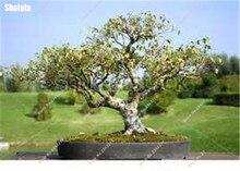 Betula Betulaceae Hardwood White Birch Tree Seeds 50pcs