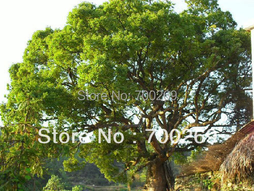 US $5 74 |Wholesale 60 seeds Camphor Tree seed Cinnamomum camphora Tropical  Seeds free shipping-in Bonsai from Home & Garden on Aliexpress com |