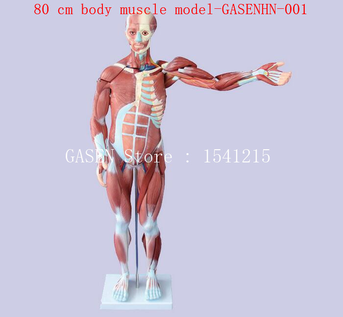 muscle Anatomy Human muscle structure Visceral display Teaching aids 80 cm body muscle model-GASENHN-001