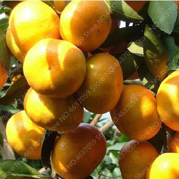orange  (7)