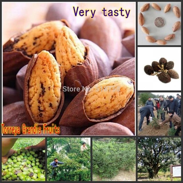 10 pcs Torreya grandis arbre graines d'arbres Fruitiers graines