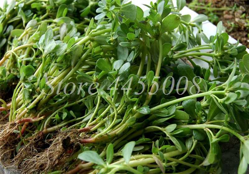 Mixed Mexican Portulaca Plant Outdoor Moss-Rose Flower Vegetable Herb Planta for Home Garden Decor Free Shipping 1000 pcs/ pack