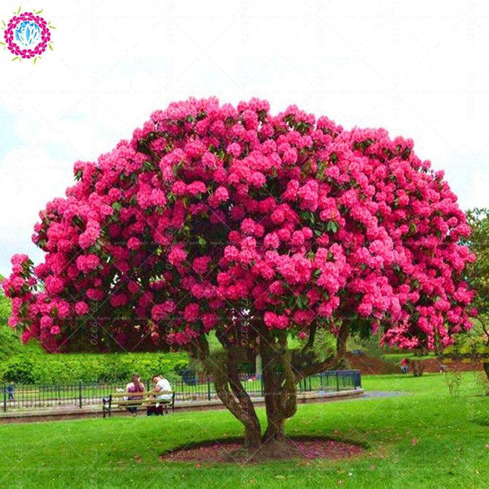 10 шт./упак. карликовые деревья гигантская розовая саCherry Кура Вишневый цветок дерево, очень красивые восточCherry Семена пиона кустарники расте...