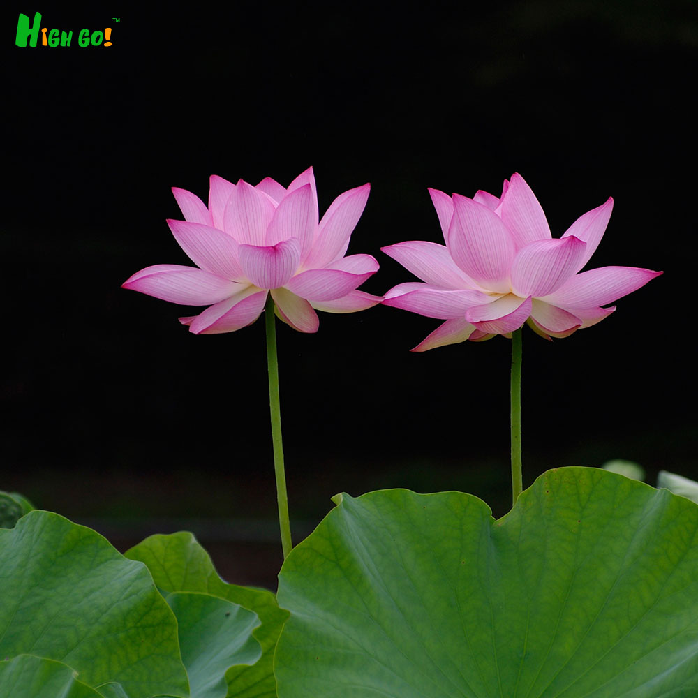 Rushed Sales Bonsai Potted Lotus Seeds Grow Plants For Many