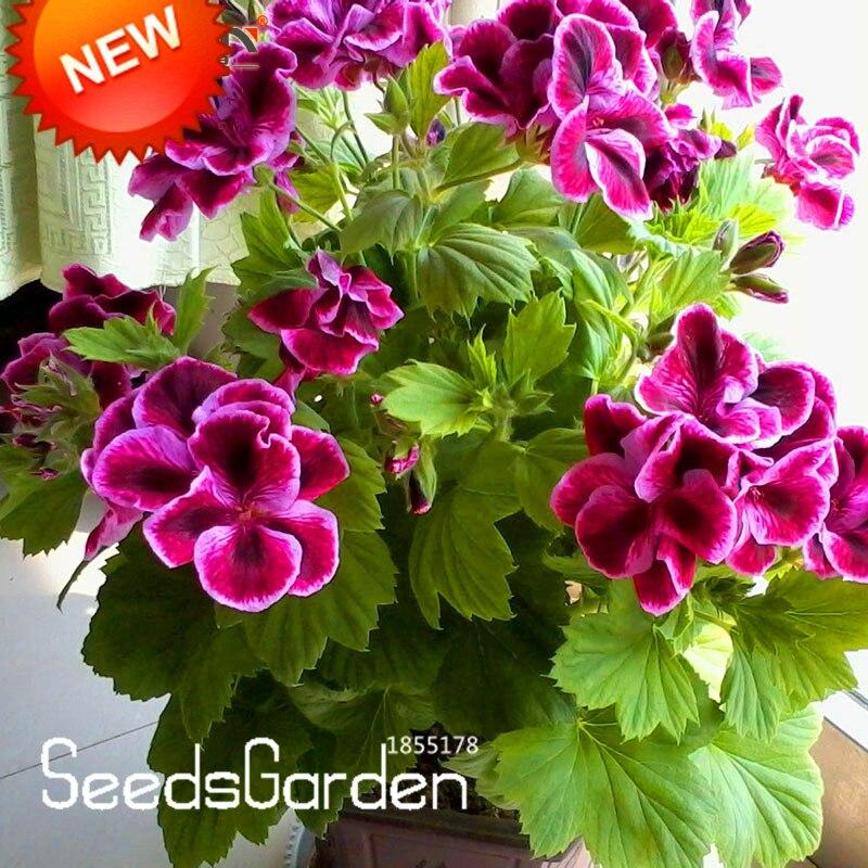 Promotion!20 Pcs/Bag Maple Leaf Geranium bonsai, Perennial Flower garden Pelargonium Domesticum Flowers for Rooms,#AA8ZMT
