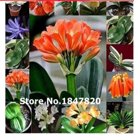 100pcs clivia seeds Authentic green plant roots boutique creative potted flowers free shipping