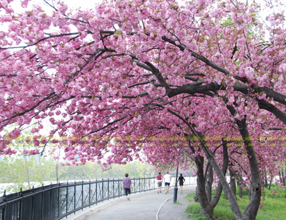 Land Miracle Anese Pink Cherry Blossom Sakura Tree 10 Seeds
