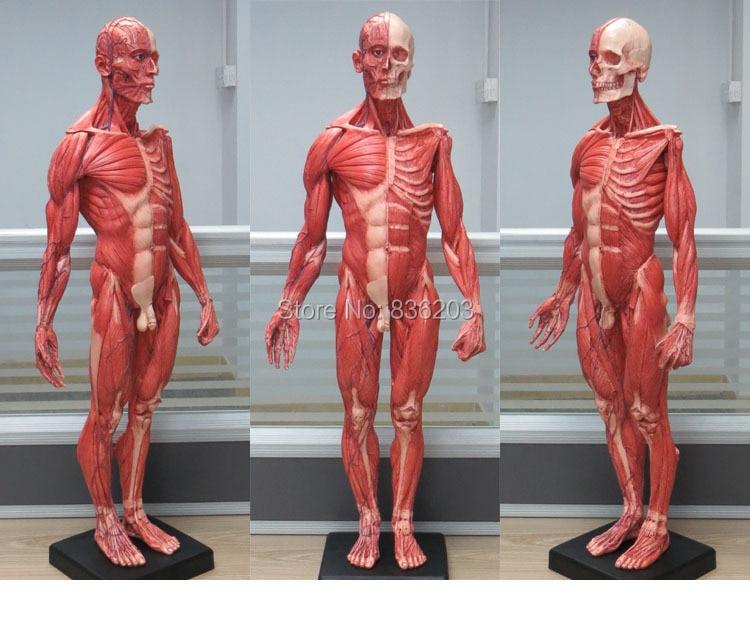 Aliexpress Buy 60cm Human Male Resin Skull Skeleton Anatomical