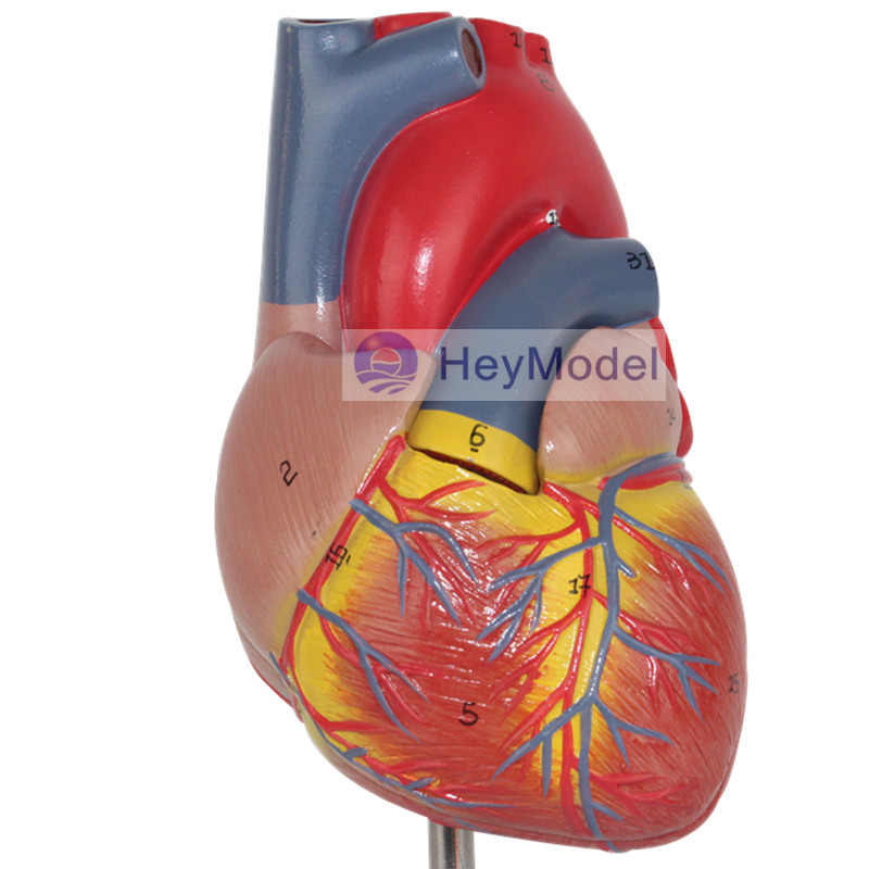 Heymodel Adult Heart Model Removabal 2 Parts with numbers and instructions class numbers quadratic and cyclotomic fields