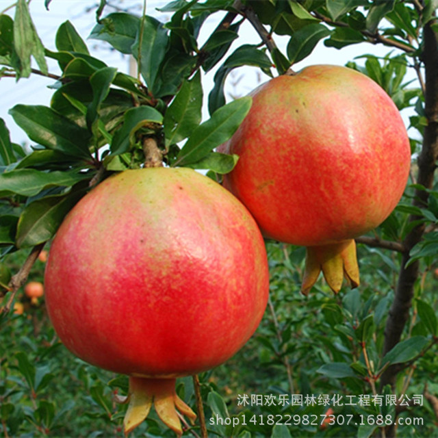 Wholesale fruit pomegranate pomegranate seed orchard now then dig now serves decent survival 30 Seeds/Pack