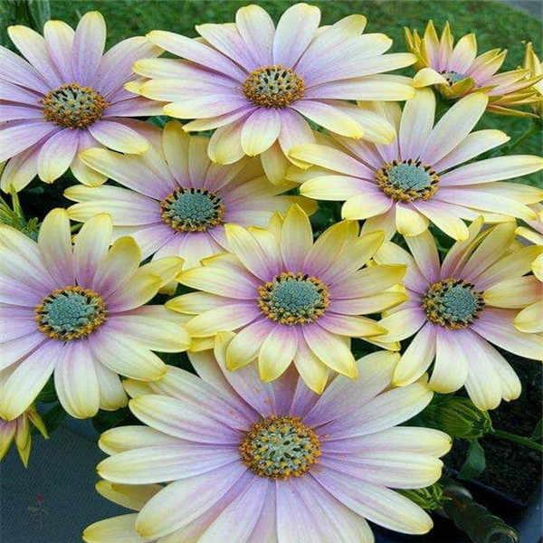 African Blue Eyed Daisy พืช Osteospermum ดอกไม้เคปผสมดอกไม้ bonsai Heirloom พืชสำหรับ garden 100 pcs