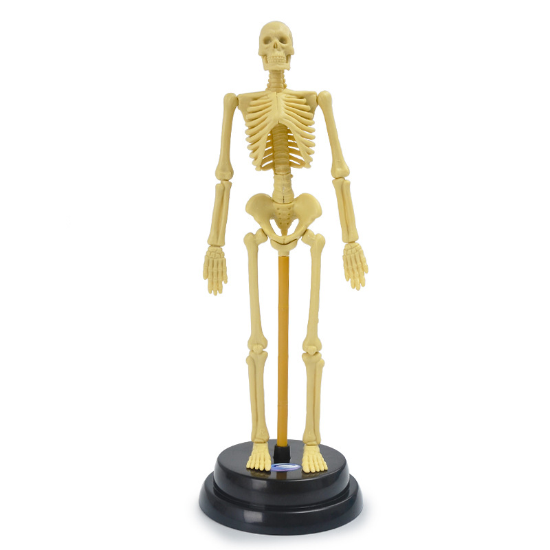 All About Human Body Skeleton Interactive Display By B0603832