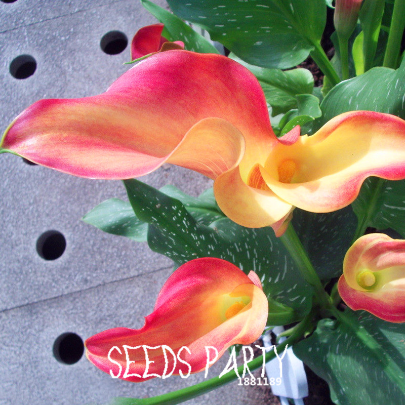 Акция! 100 Семена/Пакет Unreal Цвет Калла Семена Балкон Патио Горшках Бонсай Семена Растений Цветок Каллы, Лилии, # BJ7ET5