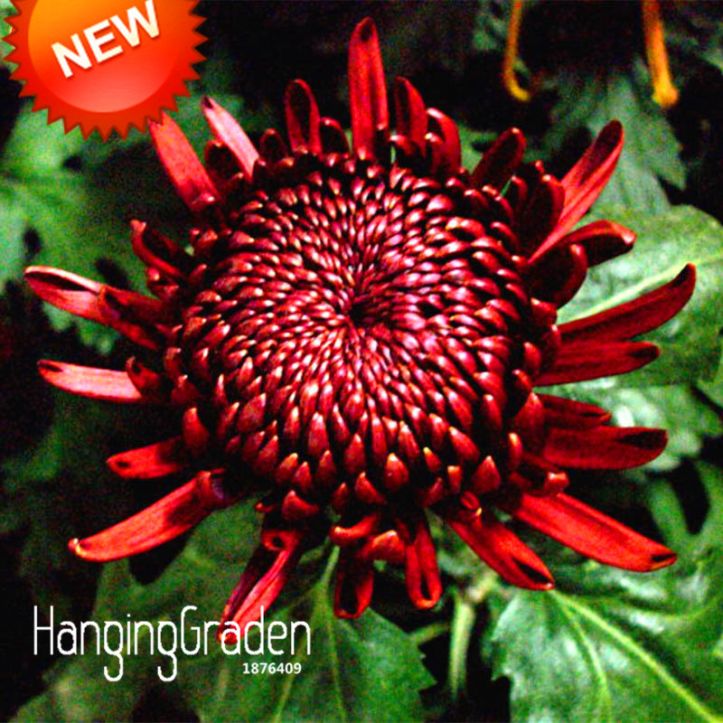 Big Promotion!100 Seeds/lot Rare Red Wine Chrysanthemum Seeds Morifolium Seeds Beautiful Flower Potted Plant Home & Garden,#BNPE
