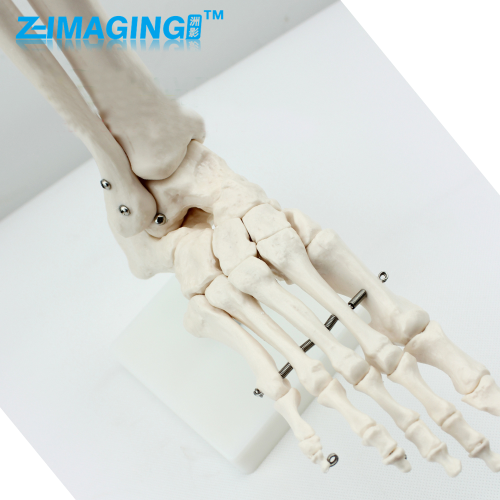 Human high - end medical 1: 1 human foot joint model foot joint ankle hand - foot surgery chapchal reconstruction surgery and traumatology hand surgery – bone and joint pathology