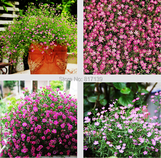 New arrival 30 seeds pink babys breath flowers gypsophila new arrival 30 seeds pink babys breath flowers gypsophila paniculata rosea flower seeds free shipping mightylinksfo