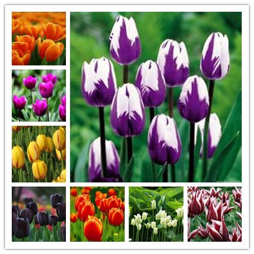 200 stk tulipan bonsai tulipan blomster smukke Tulipaner blomsterplanter til haven planter (ikke tulipanløg) blomst symboliserer kærlighed