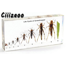 LIFE CYCLE of Grasshopper ตัวอย่าง paperweight Taxidermy คอลเลกชันฝัง CLEAR Lucite BLOCK ฝังตัวอย่าง