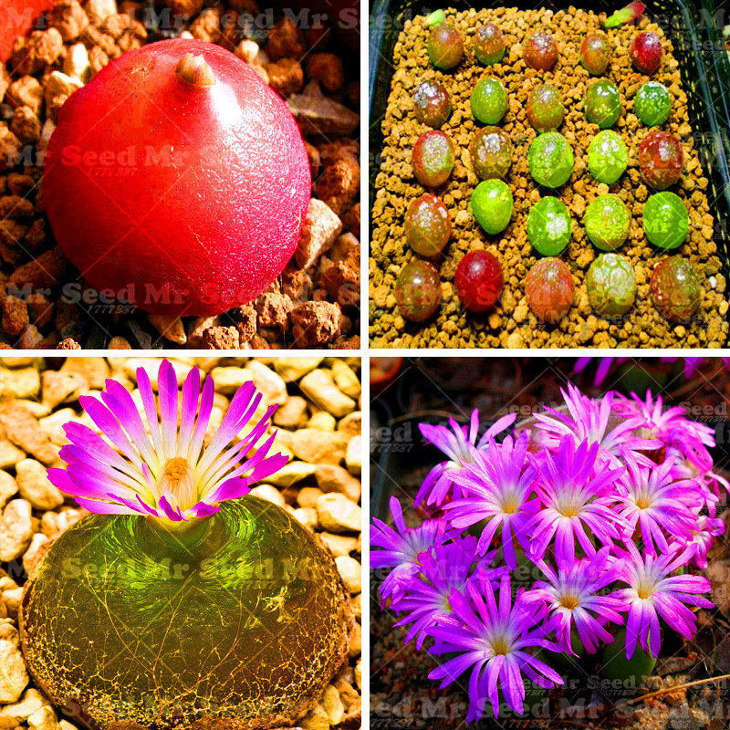 100pcs Conophytum Burgeri Seeds Succulent Plants Potting lovely flower seeds easy to grow