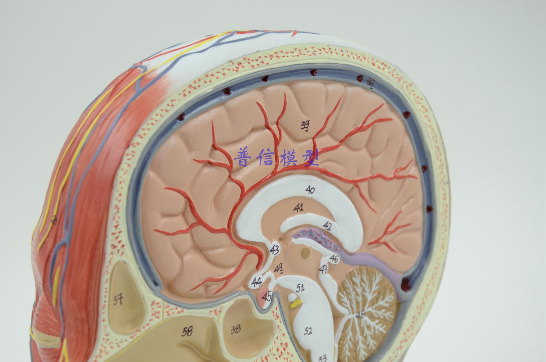 Beste Kopf Anatomie Des Gehirns Galerie - Anatomie Von Menschlichen ...