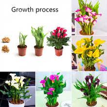 2Bulbs True Calla Lily Bulb Rare Flower For Home Garden Planting Bonsai Pot Plant Perennial Flowers  Cut