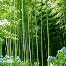 20pcs  MOSO BAMBOO HUGE MAO BAMBOO- bonsais - Phyllostachys pubescens / edulis Moso Hardy Bamboo