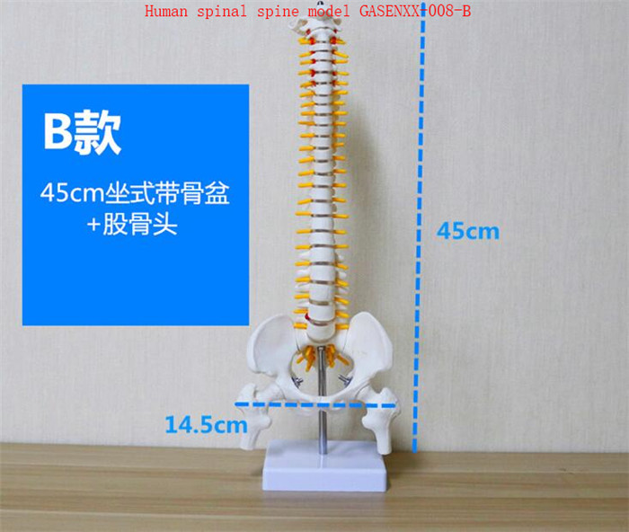 Spine teaching Journal of Spine Medicine skeleton Spine Bone model Femur color Human spinal spine model GASENXX-008-B