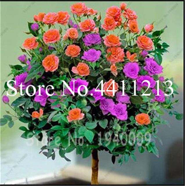 Bonsai 200 pz Rare rosa fiore insieme bella bonsai di rosa albero e Arrampicata del fiore della rosa per esterno giardino di casa piante