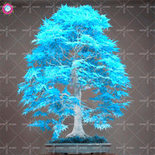 20pcs Mixed Japanese Maple Tree Seeds Colorful Indoor Bonsai Plants Seeds for Home Garden High germination rate Fast shipping