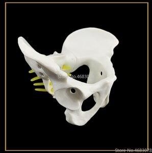 Image 4 - 13x9x9 سنتيمتر الإناث تشريح الحوض الحوض الهيكل العظمي الحلق التشريح التشريح الجمجمة النحت رئيس الجسم نموذج