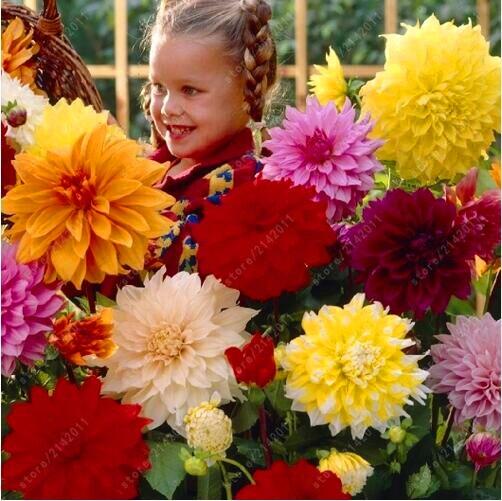 20 pcs/bag mix colors dahlia seeds, kids likes dahlia flower, potted flower seeds for home garden plant bonsai seeds
