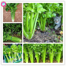 100pcs organic celery seeds green Non-GMO vegetable seeds Edible planting for spring farm supplies 95% Germination rate