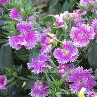 Flower plant of Dianthuplant plumariuplant 200g / Pack