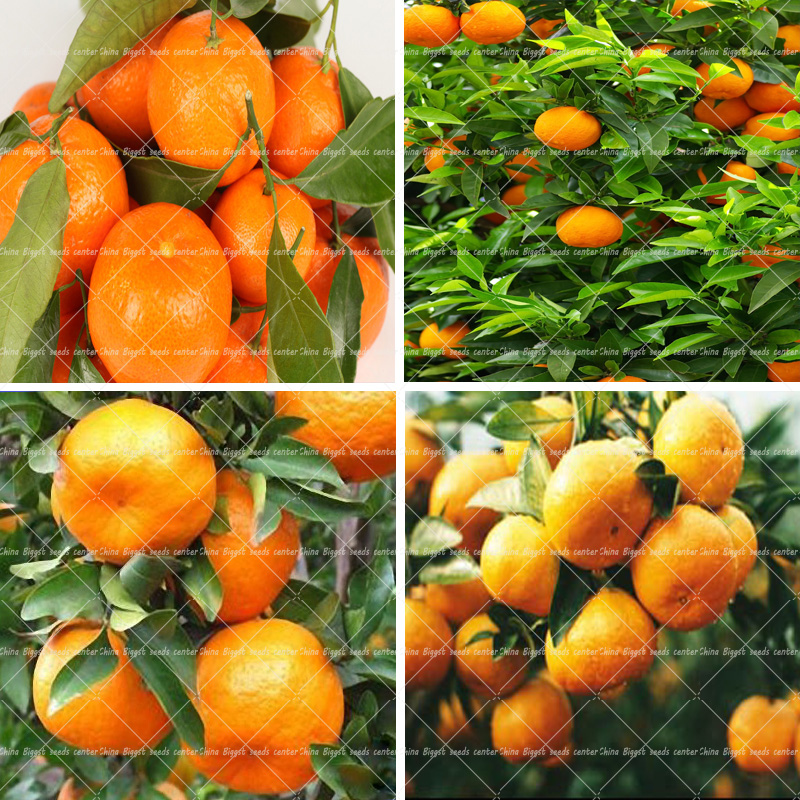 20 Orange Rose Seeds fragrant flower seeds for home garden planting bonsai tree new year surprise gift
