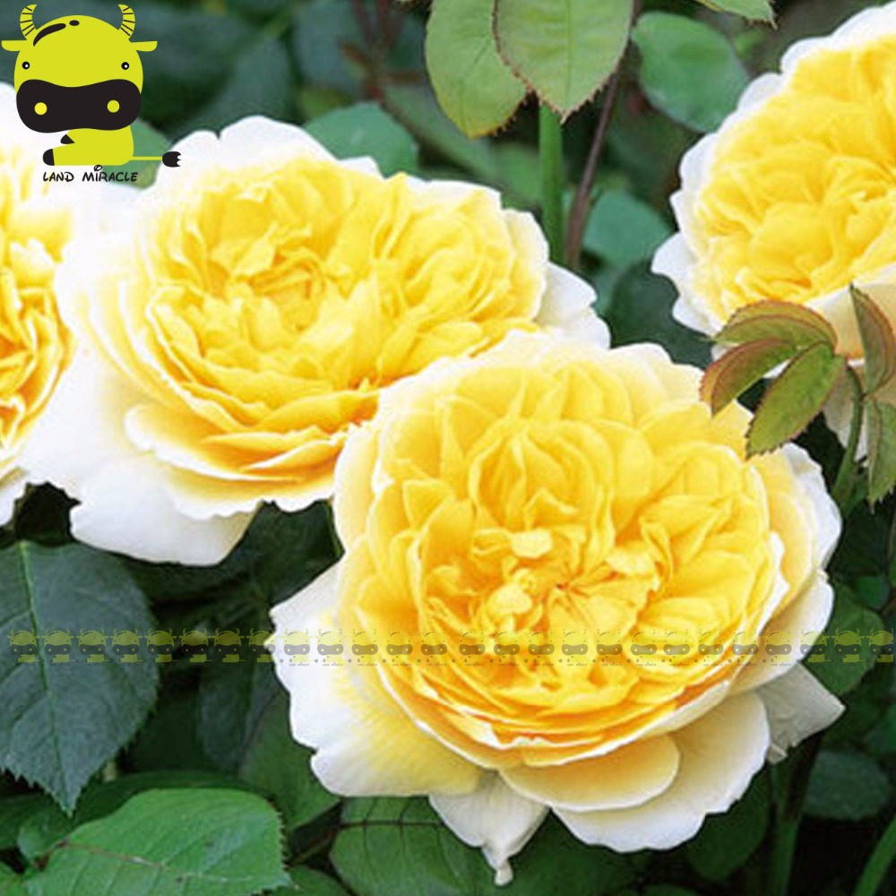 Fragrant Yellow Rose Rosa Bush Shrub Perennial Flower Seeds50 Seeds