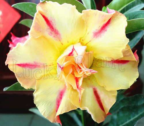 US $5 0 |20 Fresh Seeds Adenium Obesum Desert Rose Bonsai Seeds Succulent  Thailand Lucky Plant no141 Double sunrise -in Bonsai from Home & Garden on