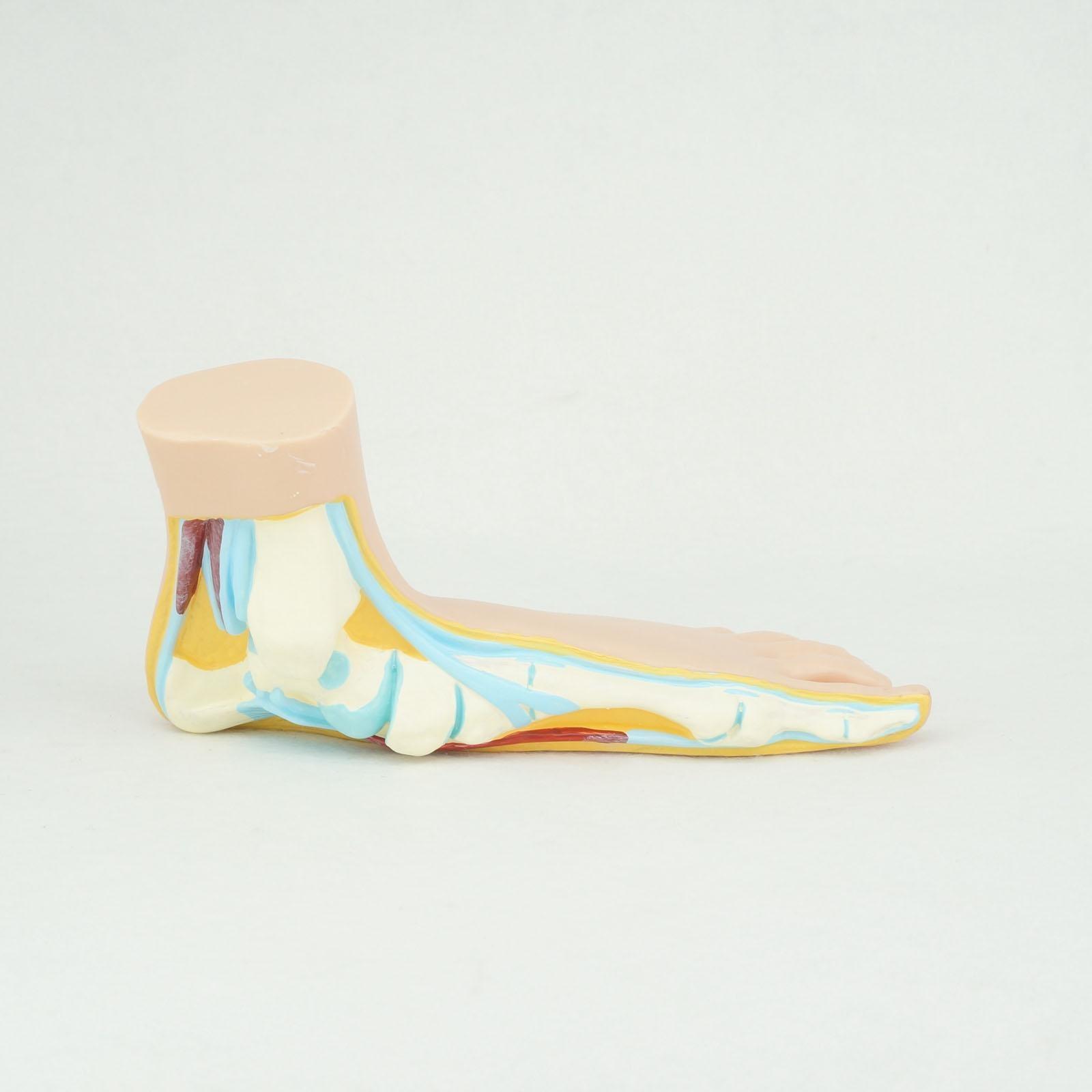 Normale Menschliche Fuß Platypodia Bogen Fuß Anatomie Modell Muscle ...