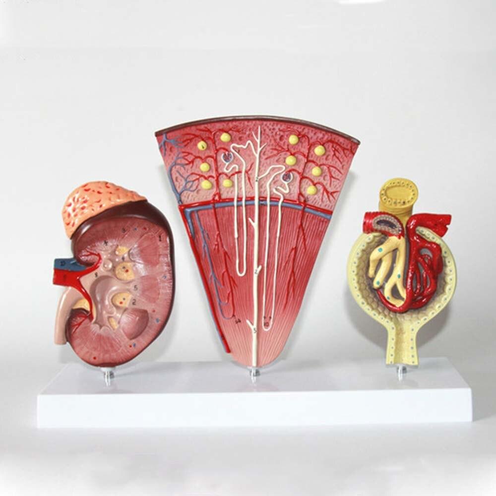 Taille réelle 3 pièces modèle de système rénale et urinaire modèle de néphron de glande surrénale modèle d'anatomie rénale glomérulaire Section transversale des reins