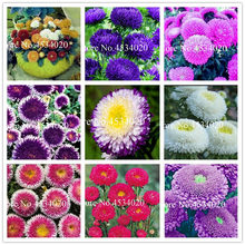 100 pcs Aster bonsai Aster Flower Bonsai Flower bonsai Colorful Chrysanthemum bonsai Perennial Flowers Home Garden decoration(China)
