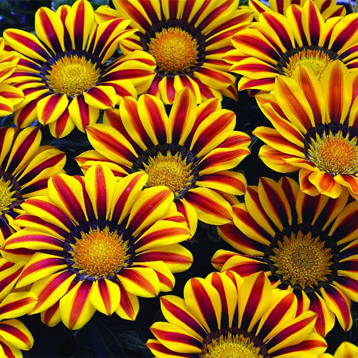 100Seeds/bag Gazania rigens seeds, Flower Seeds For Bonsai Garden, Chrysanthemum sementes de flores sementes * FREE SHIPPING