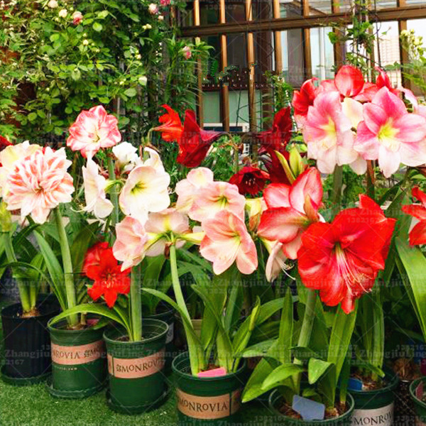 100pcs flower seeds amaryllis Barbadoslily indoor bonsai seeds plant Ornamental Plant for home garden DIY Home bonsai
