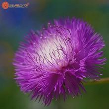 Purple Scented Cornflower Balcony Potted Flower Seeds Centaurea Cyanus Seed 100 Particles / lot