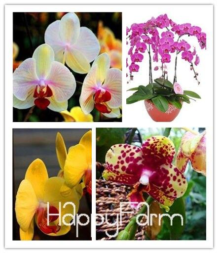 achetez en gros graines d 39 orchid es en ligne des grossistes graines d 39 orchid es chinois. Black Bedroom Furniture Sets. Home Design Ideas