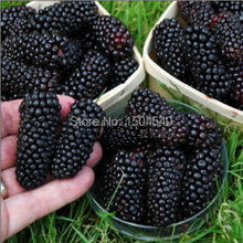 Pre-stratified blackberry juicy thornless jumbo healthy sweet fruit garden seeds diy
