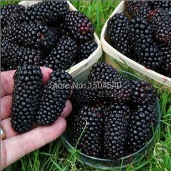 100nutritious pre stratified jumbo thornless blackberry seeds juicy sweet healthy fruit diy home garden fruit seeds.jpg 250x250