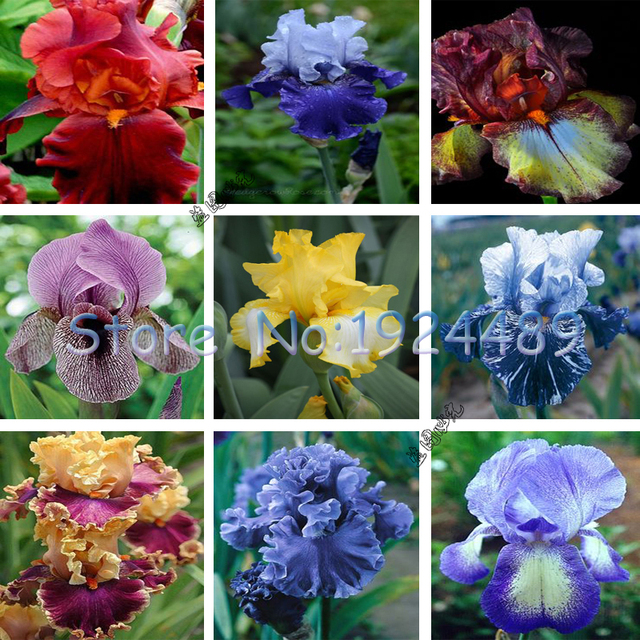 50 STÜCKE Französisch stil von 24 verschiedenen farbe spezifikationen Iris orchidee samen vergossen bonsai garten innenhof balkon