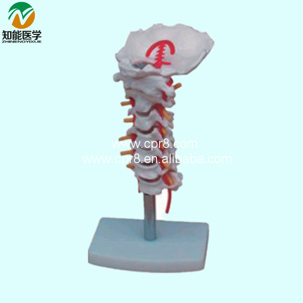 Cervical Carotid Artery Occipital Intervertebral Disc And Nerve Model BIX-A1014 G179 advanced cervical change and the relationship of the birth canal model bix f9 wbw310