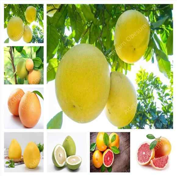 50pcs of bag Hardy Mini Pummello Pomelo tree Dwarf kao Pan Grapefruit! Rare Bonsai Fruit plant for home garden free shipping